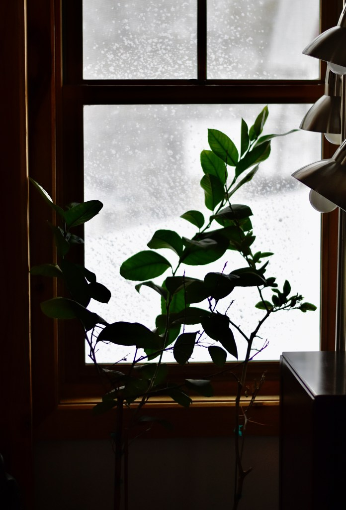 A little lemon tree in an indoor setting, with a snowy outside