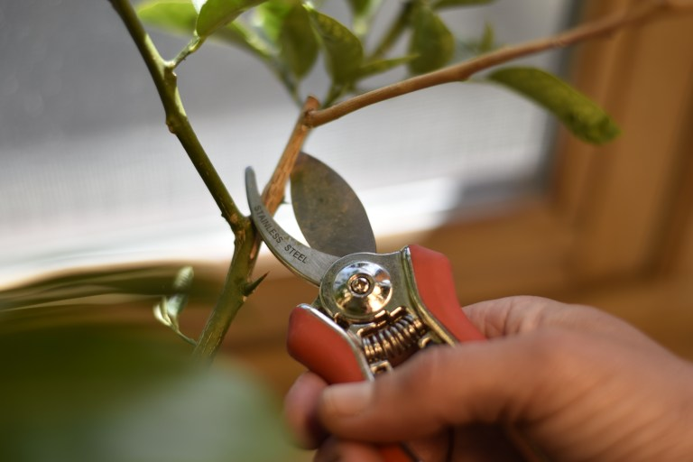 A pair of shears cutting a branch of a lemon tree