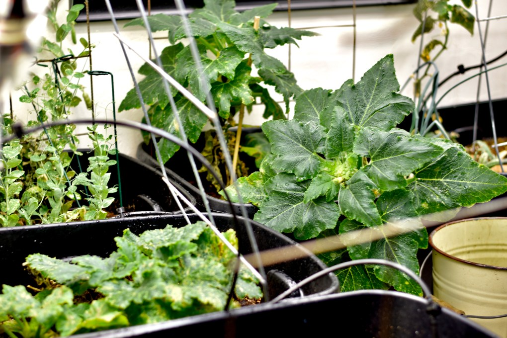 Indoor grown zucchini, squash and peas.