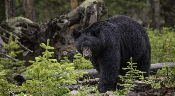 2017 Fall Black Bear Hunt Packets Now Available
