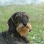 dachshund_2