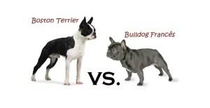 diferenca-entre-boston-terrier-bulldog-frances