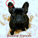 bulldog frances_orelhas bulldog_frances