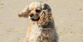 Cocker Spaniel Americano o Cão da Disney Dama e o Vagabundo