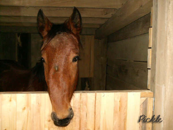 Pickle is a yearling with a facial deformity who went through the ring at Ontario Livestock Auction.  No one wanted him.  He was a no-bid. New Horizons rescued him, and took him back to their facility.