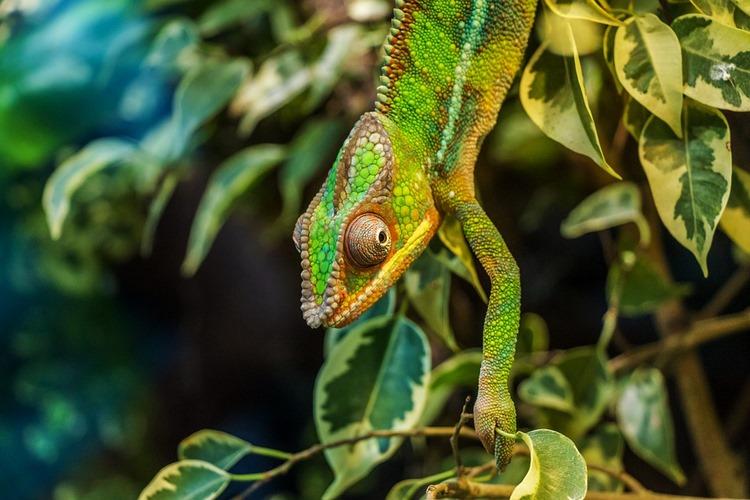 Qué comen los camaleones - Lista de alimentos para la dieta del camaleón