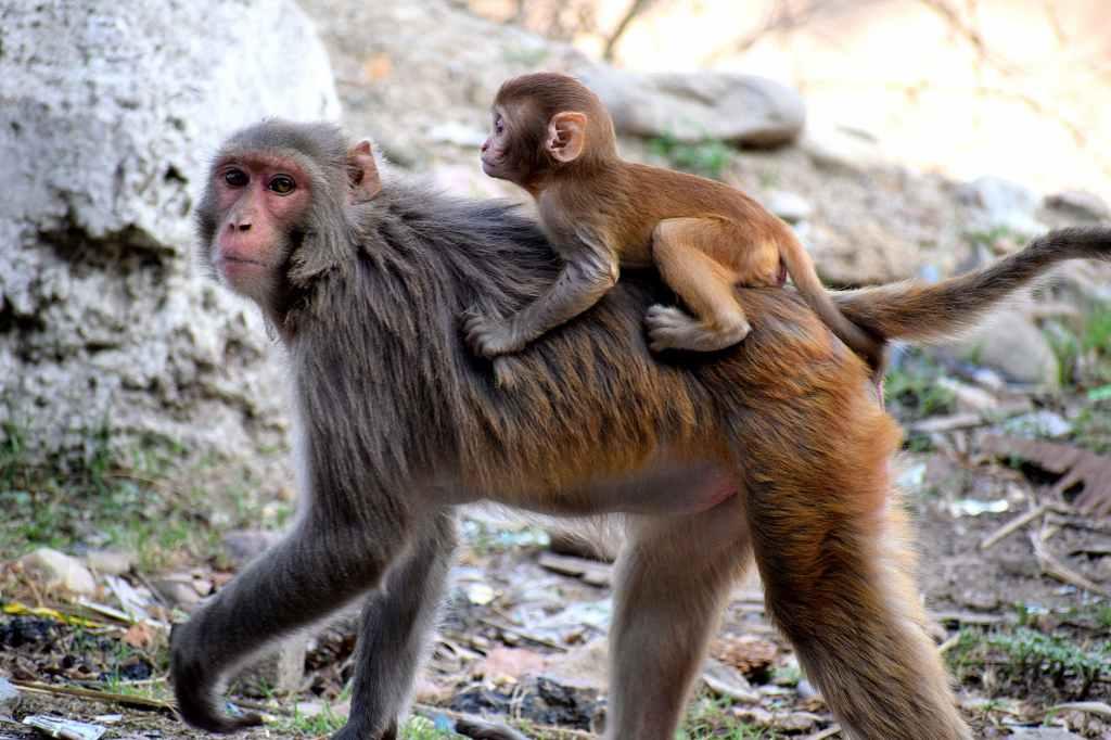 monos en tailandia
