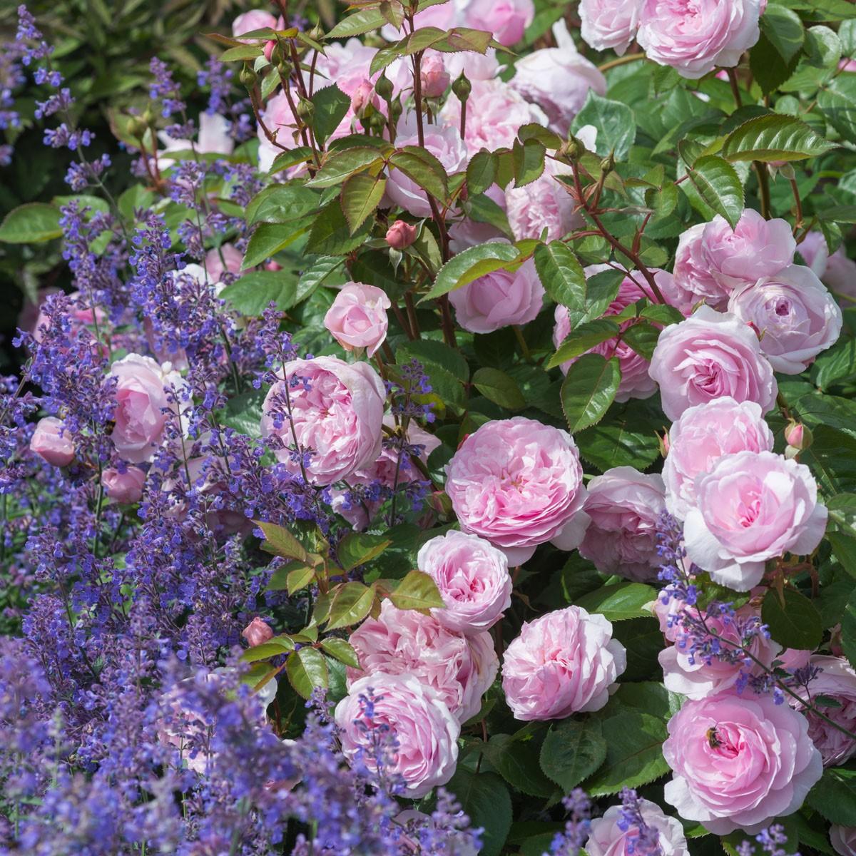 RHS Chelsea Flower Show 2016: Pioenrozen, varens en rozen dit jaar favoriet