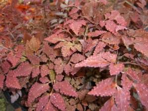 Corydalis'Chocolate Stars'