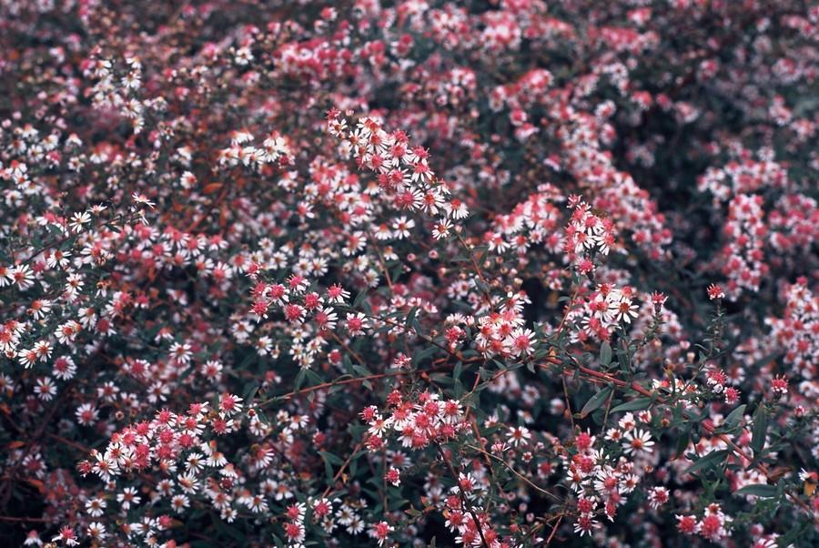 PlantenStruinen over de laatbloeier Aster (1)