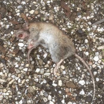 20161212-dode-rat