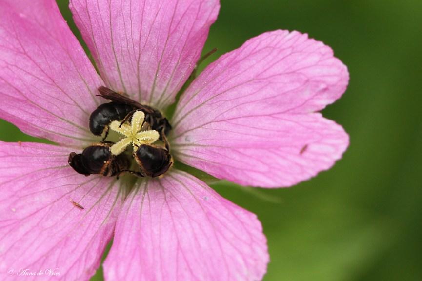 Grote klokjesbij trio in de bloem van de Geranium Endressii