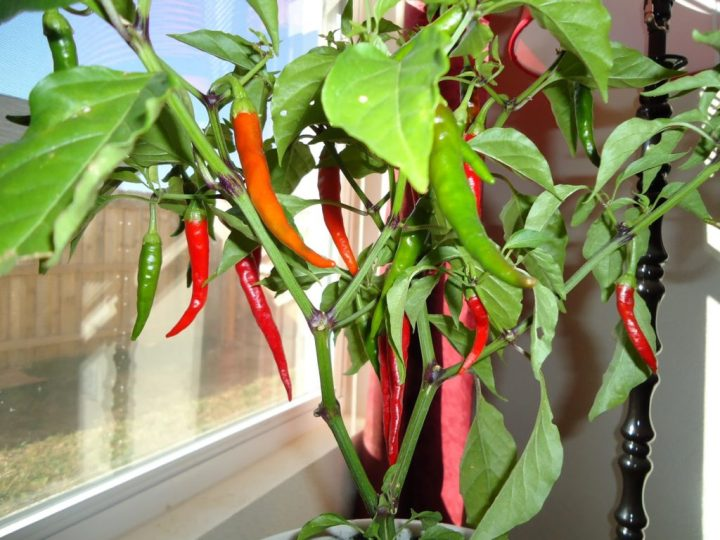 indoor-Peppers