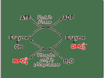 Phosphorylation and Dephosphorylation