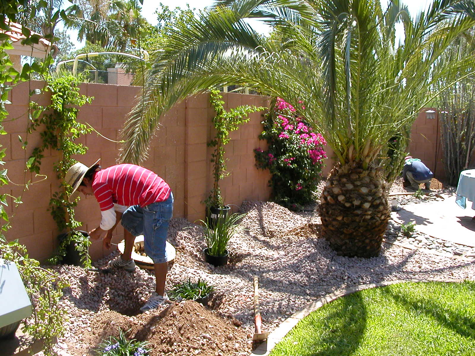 Plants going in & canary palms new home