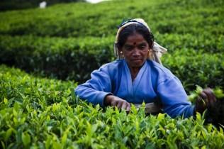 Tea pickers at Pedro Tea Estate.