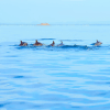 many-dolphins-in-large-pod-swim-near-water-surface-in-trincomalee-sri-lanka_ryo9ffzp__F0005