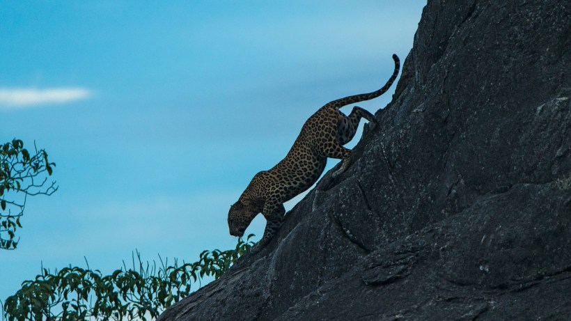 sri-lanka-by-richard-denyer-leopard-dusk-flipped