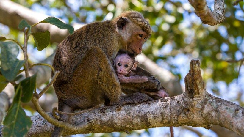 sri-lanka-by-richard-denyer-monkey