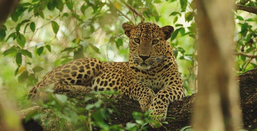 sri-lankan-leopard