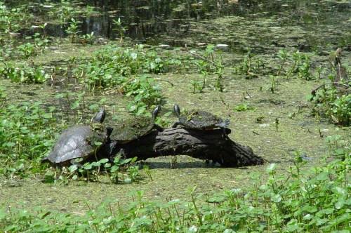Barataria-Preserve-turtles-960w
