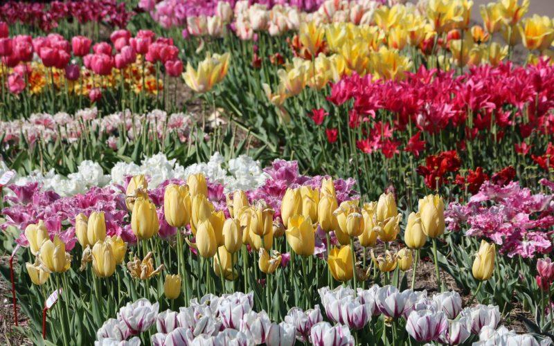 Tulip Festival Bollenstreek