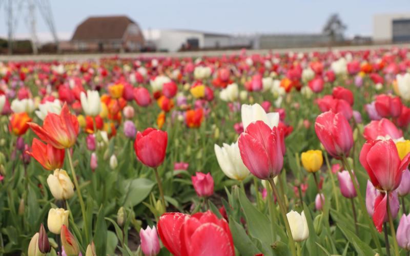 flower fields Amsterdam