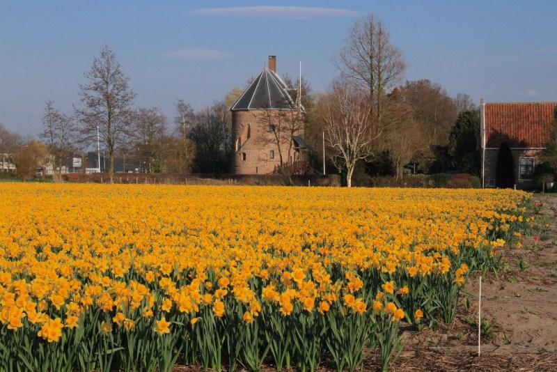 Dutch flower fields dever