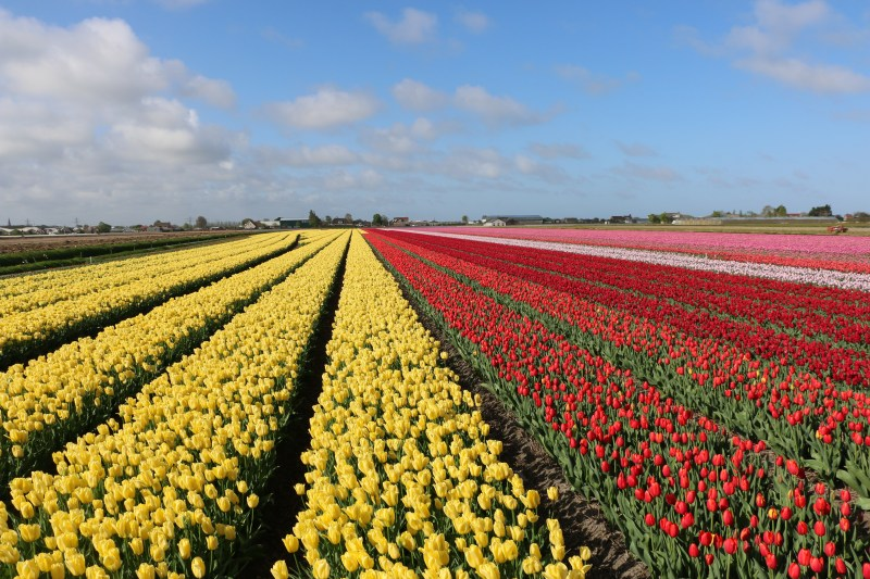 Tulip Fields near Amsterdam
