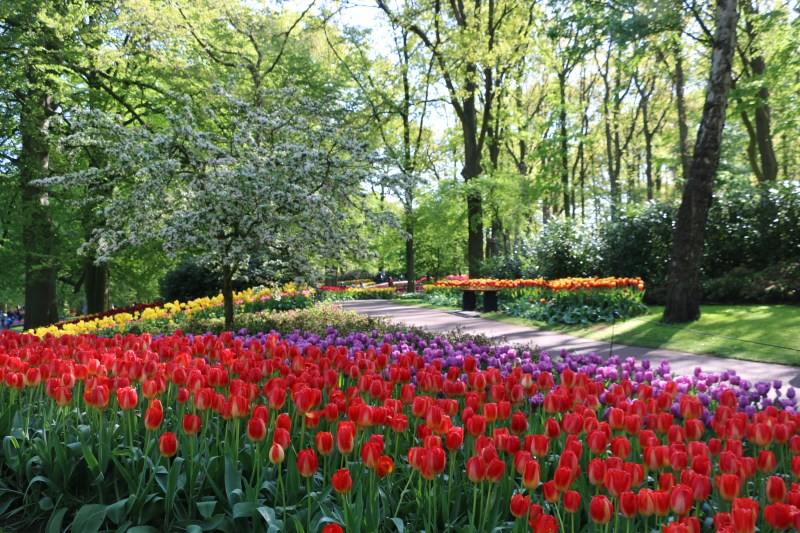 tulip season amsterdam holland