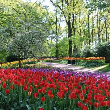 tulip season amsterdam holland