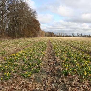 flower field Holland