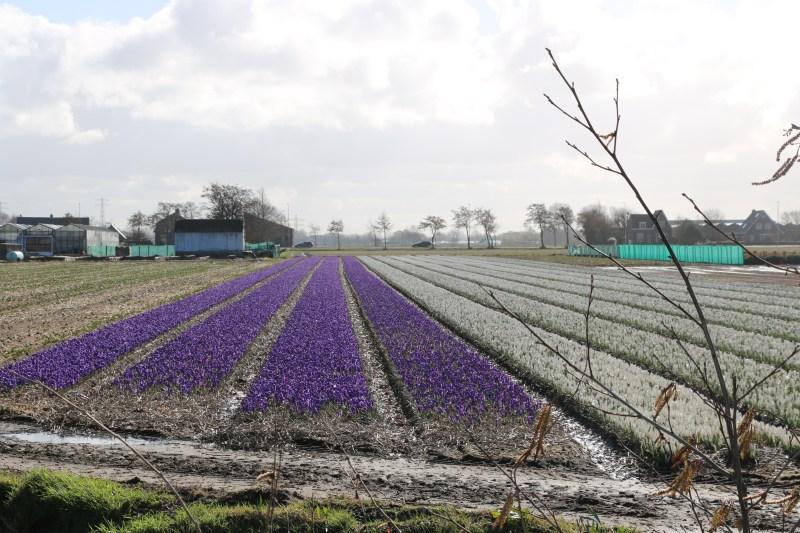 Flower fields March 7 2019 Holland