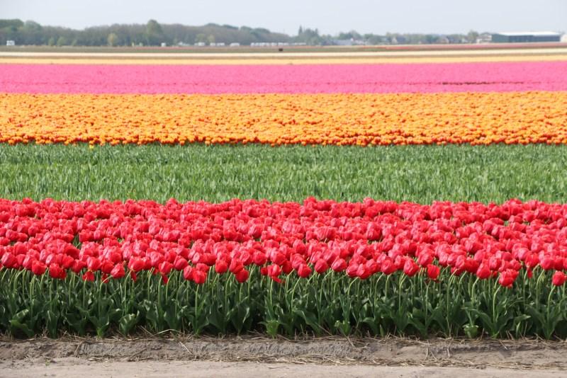 Tulip fields outside Keukenhof
