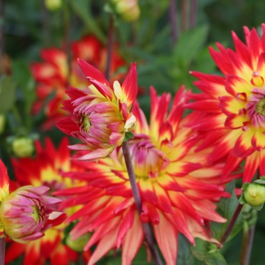 Summer flowers Keukenhof