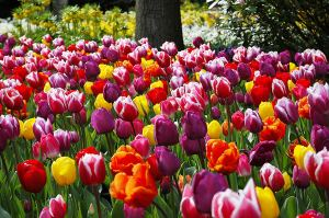 tulip bulbs Holland