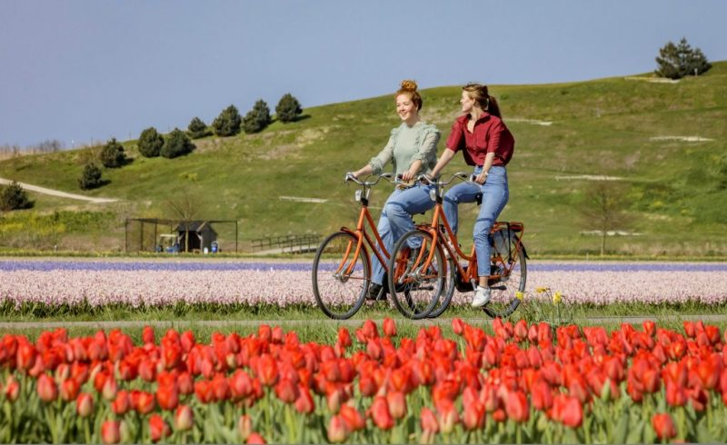 Cycle along the flowering tulip fields