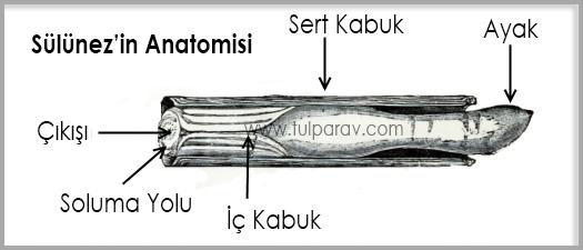 Sülünez Anatomisi