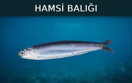 Hamsi Balığı Kaç Yıl Yaşar