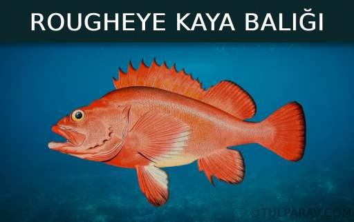 Rougheye Kaya Balığı