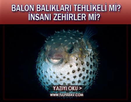 Balon Balığı Tehlikeleri Nelerdir?