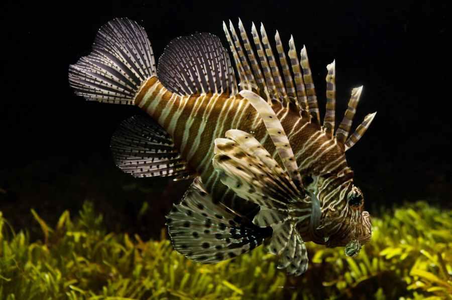 aslan balığı lionfish zehirli balık
