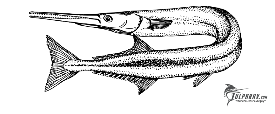 Zargana Balığı Görünümü