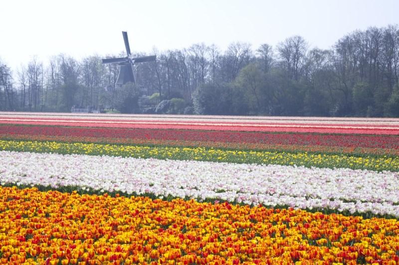 Beste Zeit, um Tulpen in Holland zu sehen