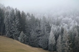 forest, trees, conifers