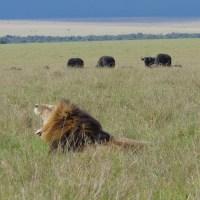 lion et gnous