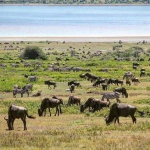 ndutu-safari-lodge-safari__gnous