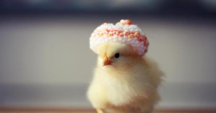 Chicken with a hat.
