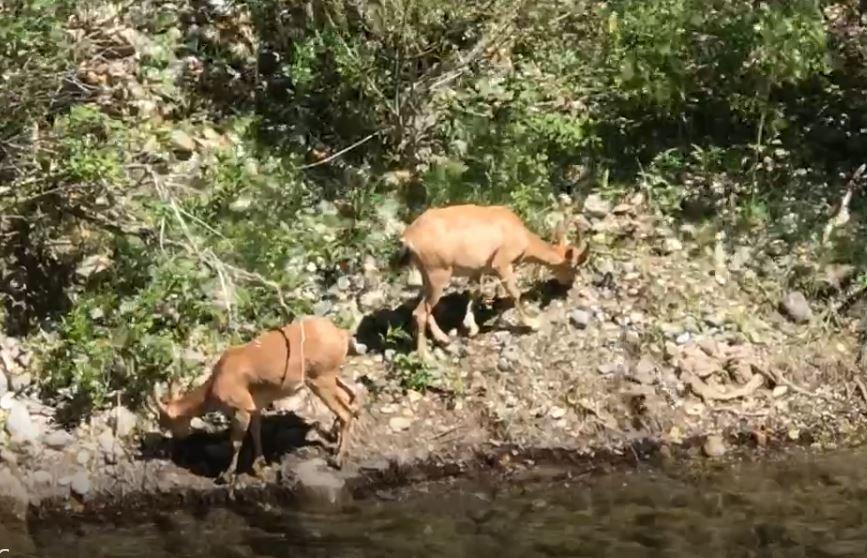 Su kıyısına inen dağ keçileri görüntülendi