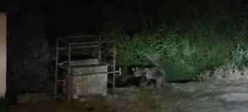 Tunceli'de aç kalan ayılar mezbahaneye indi